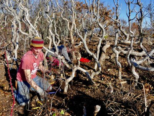 Restoring a grove of Garry Oaks