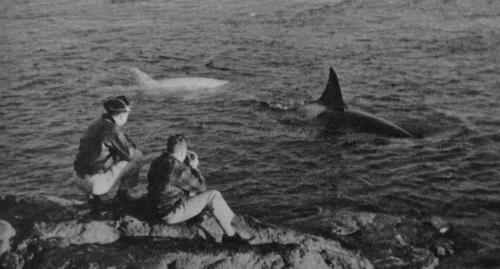 White (leucistic) Orca