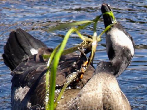 Canada Goose uprooting Eelgrass