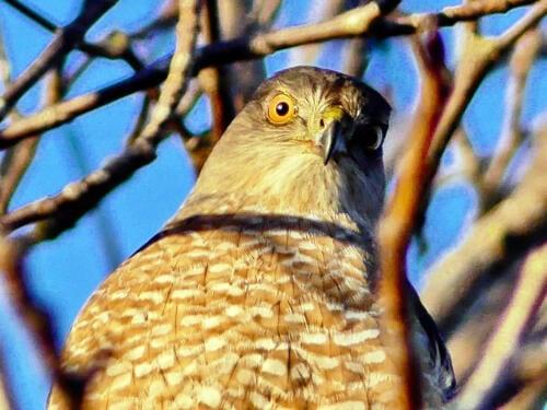 Coopers' Hawk