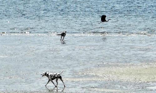 Dogs chasing heron