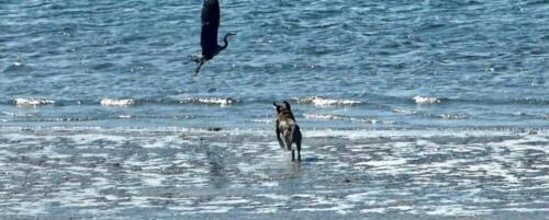 Dog chasing heron