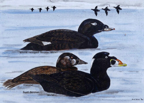 Surf Scoter and White-winged Scoter