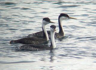 Western Grebes with a Clark's Grebe (front)