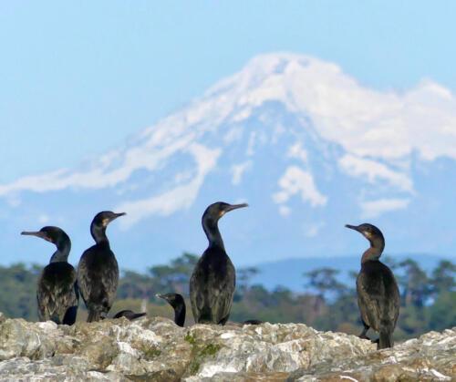 Brandt's Cormorants