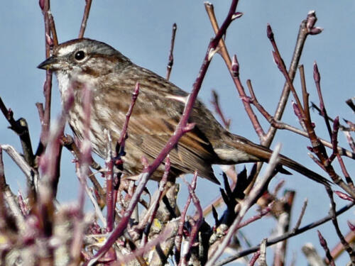 Song Sparrow in a Nootka Rose bush.