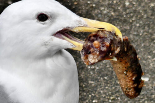 Glaucous-winged Gull with California Sea Cucumber