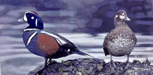 A pair of Harlequin Ducks