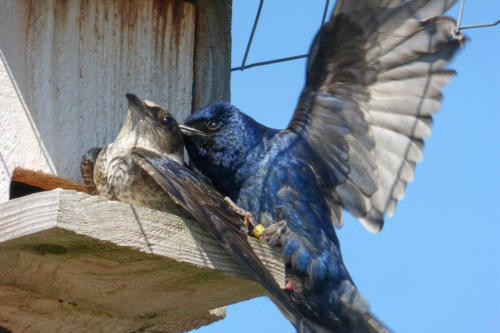 Western Purple Martins